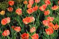 Beautiful bright tulips in the sunlight - PhotoDune Item for Sale