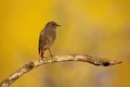 Black redstart looking on branch in sunrise with copy space - PhotoDune Item for Sale