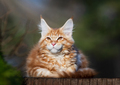 Red spotted Maine Coon kitten. - PhotoDune Item for Sale