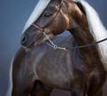 Portrait on blue background of silver-black American Shetland Pony. - PhotoDune Item for Sale