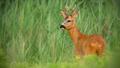 Roe deer buck observing on meadow in summertime nature - PhotoDune Item for Sale