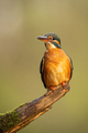 Common kingfisher sitting on branch in vertical shot - PhotoDune Item for Sale