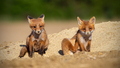 Red fox siblings sitting on a sand in spring sunlight - PhotoDune Item for Sale