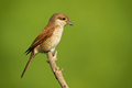 Female red-backed shrike sitting on branch with copy space - PhotoDune Item for Sale