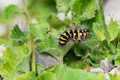 Close up of Acronicta dentinosa on the green leaf - PhotoDune Item for Sale