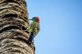 Hispaniolan Woodpecker or Melanerpes striatus on palm stem close - PhotoDune Item for Sale