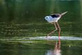 Black-winged stilt or Himantopus himantopus wades in marshland - PhotoDune Item for Sale