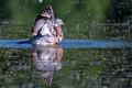 Wood Pigeon or Columba palumbus washes in water - PhotoDune Item for Sale