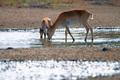 Saiga antelope or Saiga tatarica drinks in steppe - PhotoDune Item for Sale