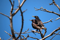 Beautiful pair of glossy starling sitting on dry ranch - PhotoDune Item for Sale