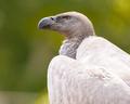 Cape Vulture - PhotoDune Item for Sale