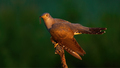 Common cuckoo eating worm on wood in summer evening - PhotoDune Item for Sale