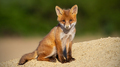 Young red fox sitting on sand in summer sunlight - PhotoDune Item for Sale