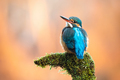 Cute female of common kingfisher sitting on moss-covered branch - PhotoDune Item for Sale