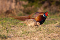 Two common pheasants moving on meadow in spring nature - PhotoDune Item for Sale