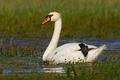 Mute swan floating on wetland in green spring nature - PhotoDune Item for Sale