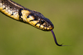 Dangerous looking grass snake flicking tongue on green blurred background - PhotoDune Item for Sale