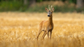 Young roe deer buck with small antlers on a stubble filed in summer - PhotoDune Item for Sale
