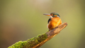 Young common kingfisher looking on wood with copy space - PhotoDune Item for Sale