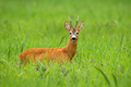 Roe deer buck standing on a tall green grass and facing camera - PhotoDune Item for Sale