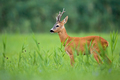 Roe deer buck standing on a green grassland in summertime nature - PhotoDune Item for Sale