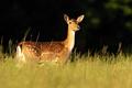 Fallow deer hind looking on grassland in summer sunlight - PhotoDune Item for Sale