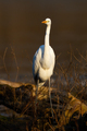 Great egret walking on fallen tree in vertical shot - PhotoDune Item for Sale