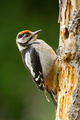 Adult lesser spotted woodpecker making a hole into the tree - PhotoDune Item for Sale