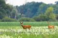 Couple of roe deer walking on blooming meadow in summer - PhotoDune Item for Sale