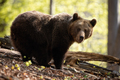 Large female of brown bear facing camera in summer beech forest - PhotoDune Item for Sale