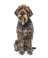 scruffy Korthals dog sitting in front and looking up - PhotoDune Item for Sale