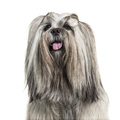 Headshot of a panting Groomed Lhasa apso dog, isolated on white - PhotoDune Item for Sale