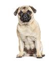 Sitting Pug, isolated on white - PhotoDune Item for Sale