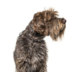 Head shot of a Korthals Griffon isolated on white - PhotoDune Item for Sale