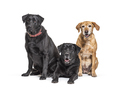 Group of Labrador Retriever dogs, isolated on white - PhotoDune Item for Sale