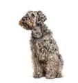 Crossbreed dog looking up, isolated on white - PhotoDune Item for Sale