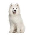 White Samoyed dog, sitting and panting, isolated on white - PhotoDune Item for Sale