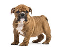 Bulldog puppy standing, isolated on white - PhotoDune Item for Sale