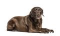 Unhappy Lying Chocolat Labrador afraid, questionning, expressive - PhotoDune Item for Sale