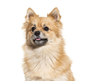 Portrait of a Pomeranian, isolated on white - PhotoDune Item for Sale