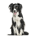 Happy black and white Crossbreed dog panting, isolated on white - PhotoDune Item for Sale