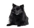 Black Pomeranian lying, isolated on white - PhotoDune Item for Sale