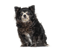 Sitting Old Chihuahua graying, isolated on white - PhotoDune Item for Sale