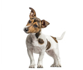 Jack Russell standing and bending head, isolated on white - PhotoDune Item for Sale