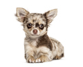 lying down Chihuahua, isolated on white - PhotoDune Item for Sale