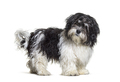 Mixed breed dog standing, isolated and looking at the camera - PhotoDune Item for Sale