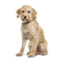 Sitting Crossbreed dog, isolated on white - PhotoDune Item for Sale