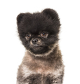 Portrait of a Brown and Black Spitz looking away, isolated - PhotoDune Item for Sale
