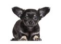 Puppy Chihuahua lying down, 2 months old, isolated on white - PhotoDune Item for Sale