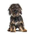 Long-haired dachshund dog, isolated on white - PhotoDune Item for Sale